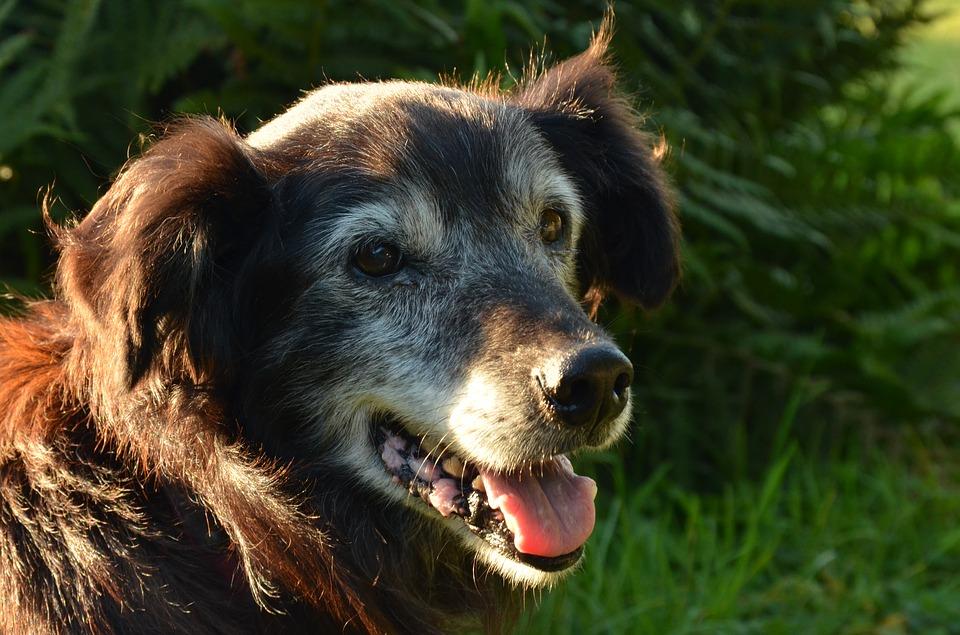Cane anziano aiutarlo a vivere meglio con la fisioterapia